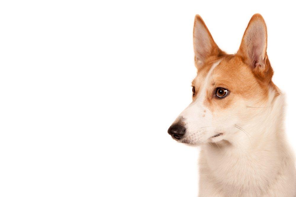 Cão Finlandês cachorro