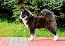 Cão Finlandês