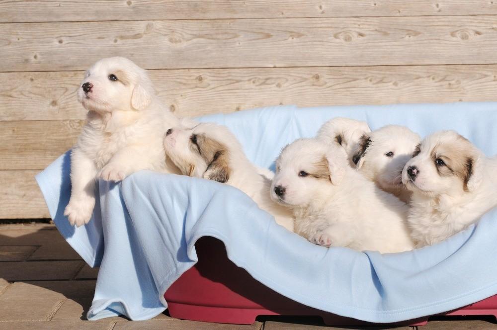 Cão de Montanha filhote