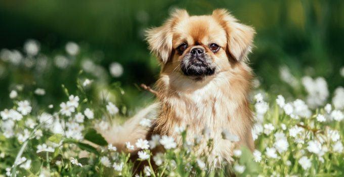 Spaniel tibetano cão