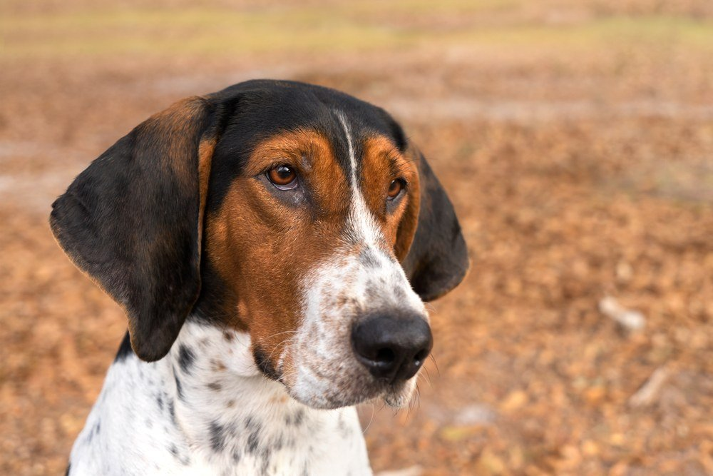 Treeing walker cachorro