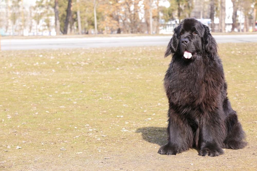 Terra Nova cachorro