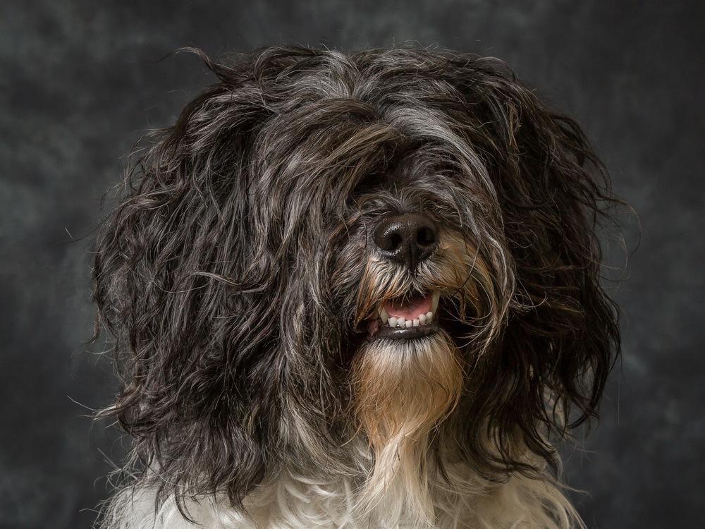Terrier tibetano cachorro