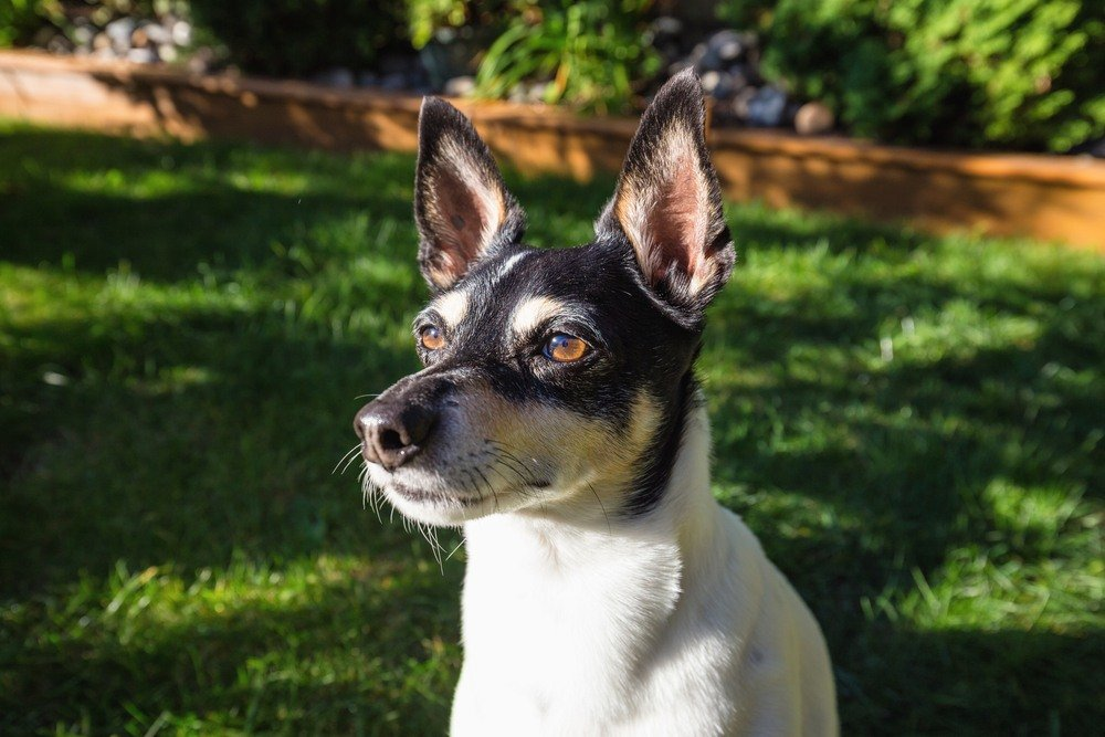 Toy Fox Terrier cachorro
