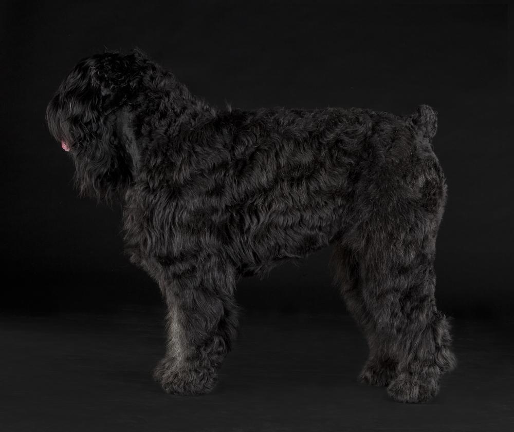 Terrier russo cão