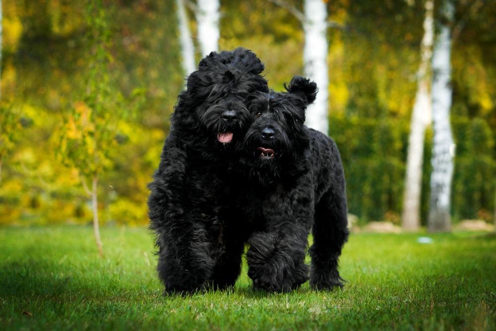 Terrier russo