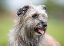 Pastor dos Pirenéus cão
