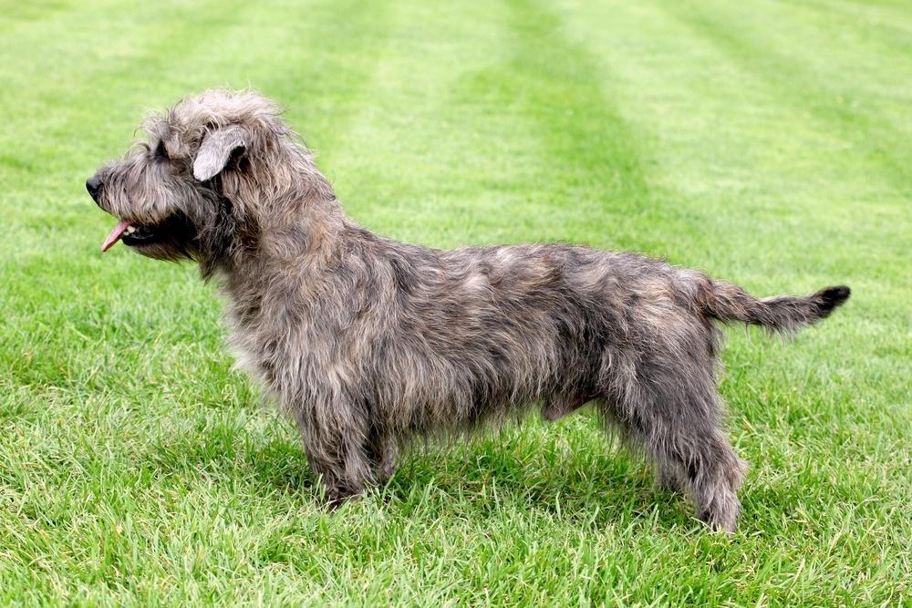 Glen terrier cachorro
