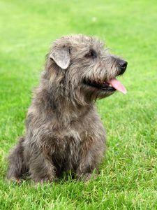 Glen terrier cão