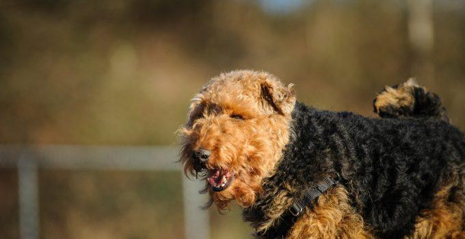 Welsh Terrier cão