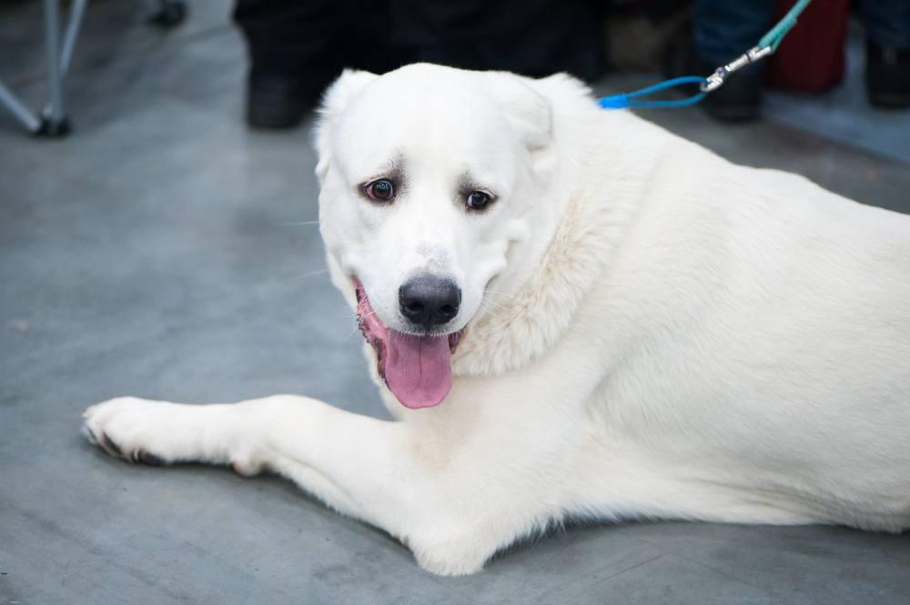 Akbash cão