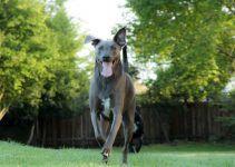 Blue Lacy cão