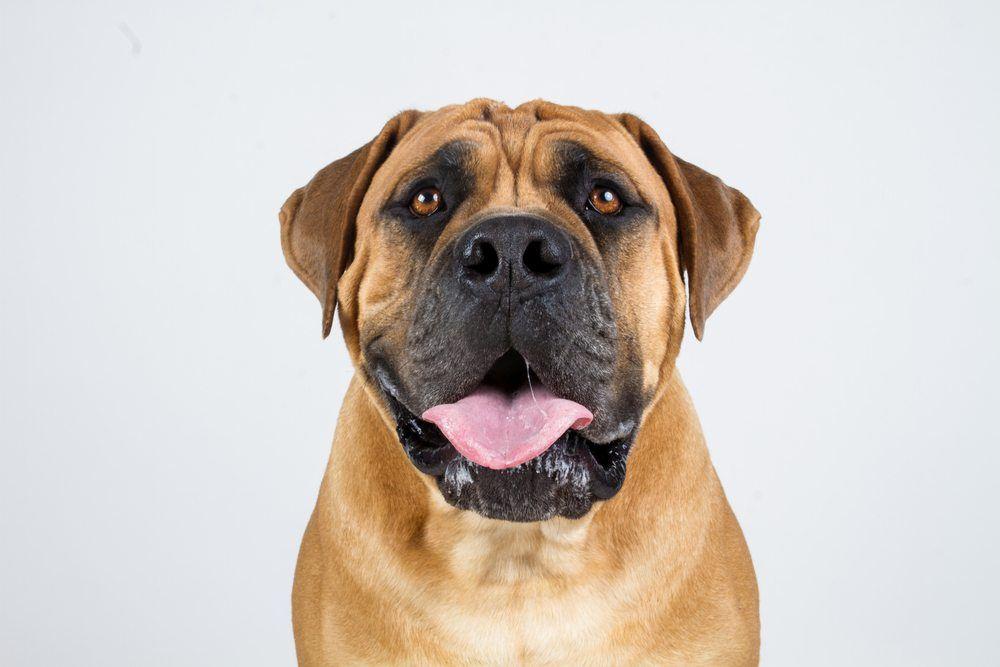 Boerboel cão