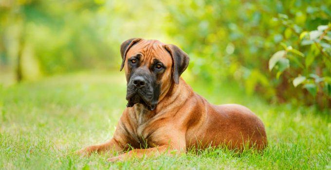 Boerboel cachorro