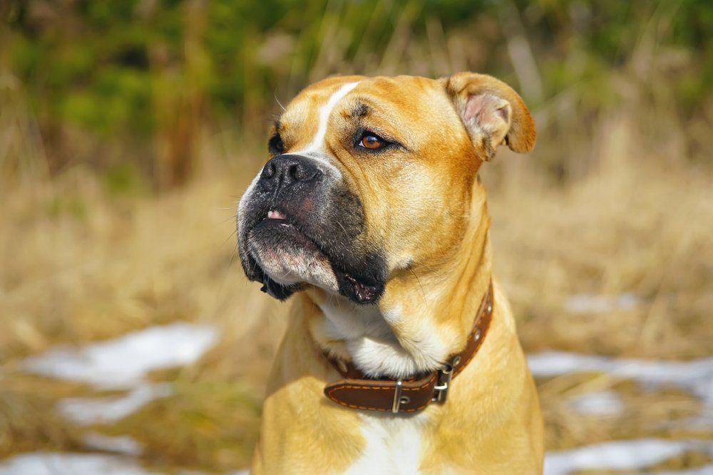 Cão de presa maiorquino