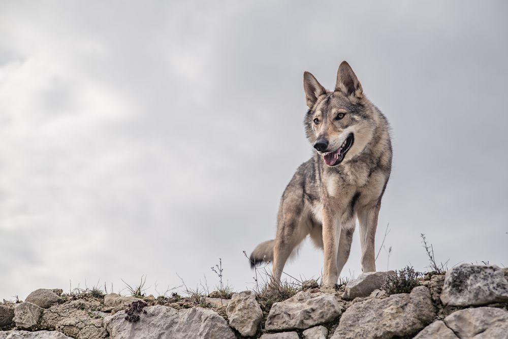 Cão lobo cachorro
