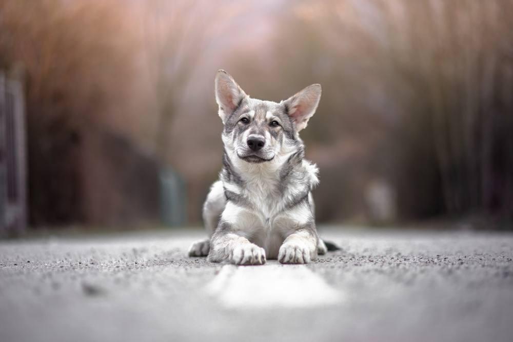 saarlos cão