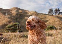Cavoodle cão