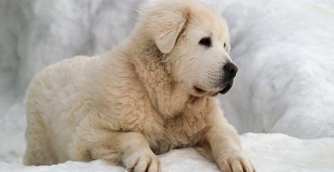 cuvac eslovaco cachorro