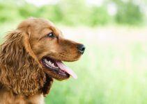 Cocker Spaniel Inglês cão