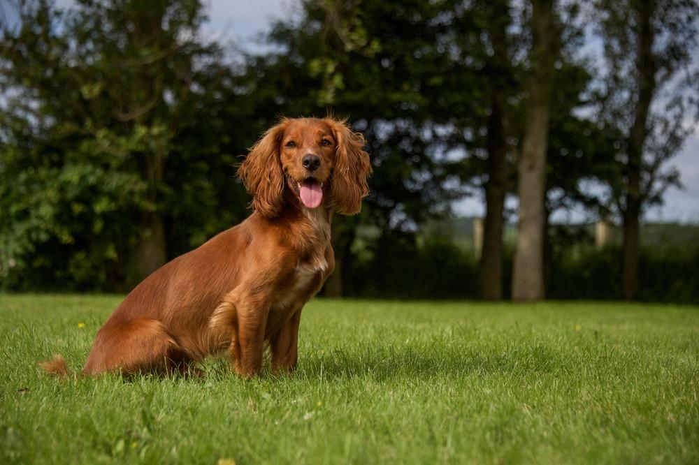 Cocker Spaniel Inglês cachorro