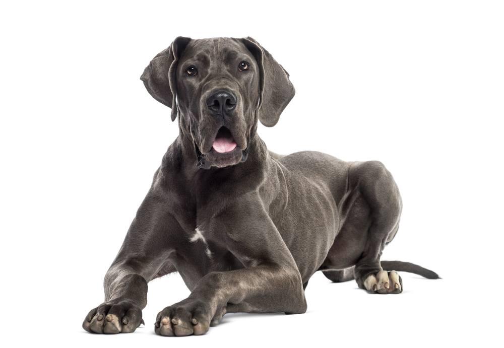 Dogue alemão cão