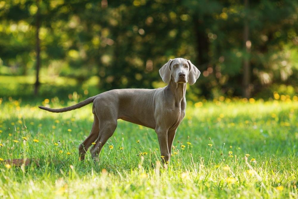 Weimaraner cachorro