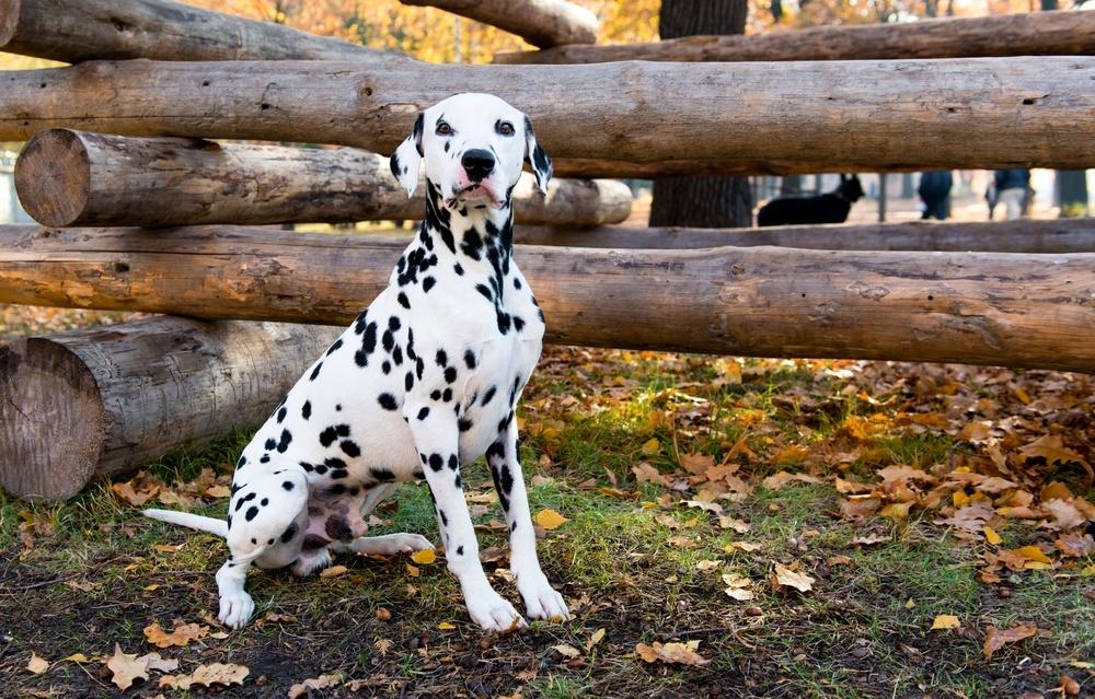 Dálmata cão
