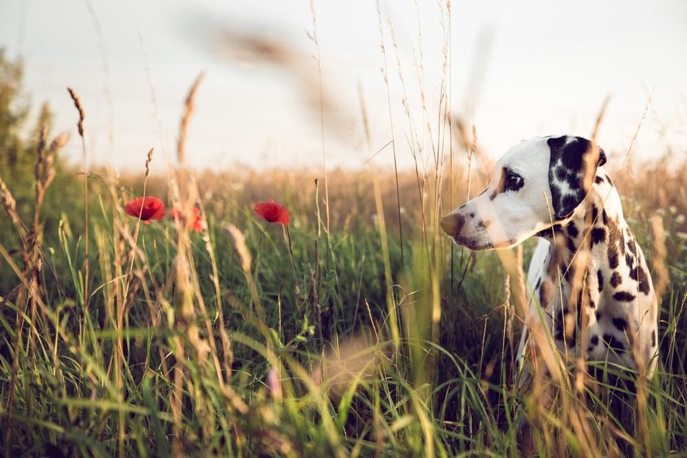 Dálmata cachorro