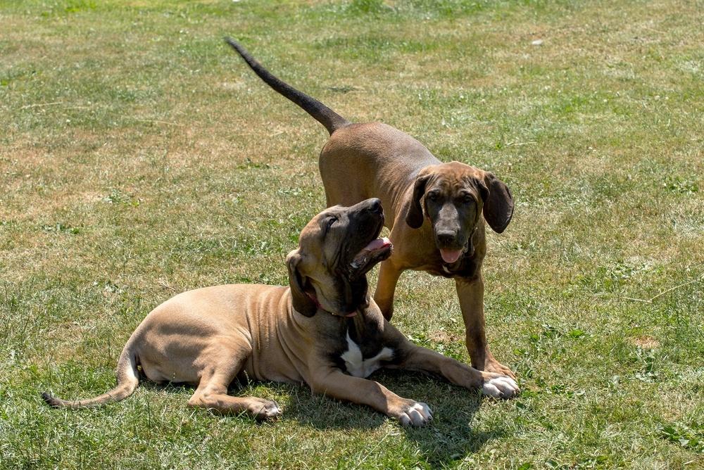 Fila brasileiro cão