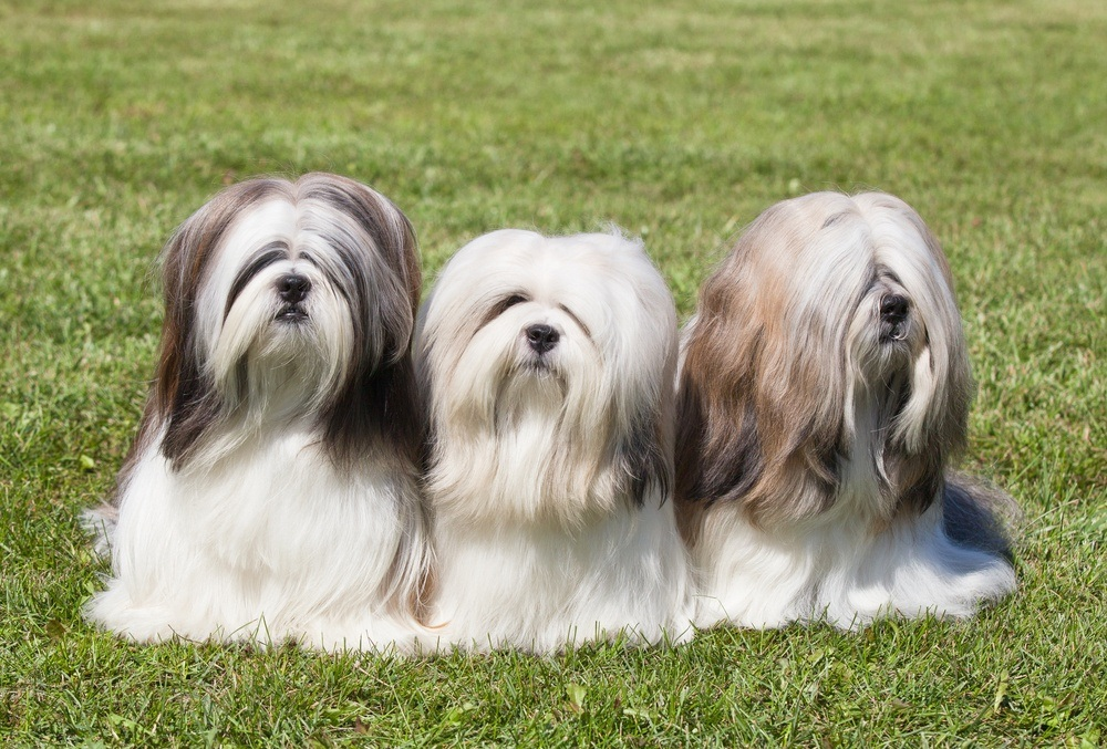 Lhasa apso cães