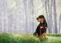 Rottweiler cão