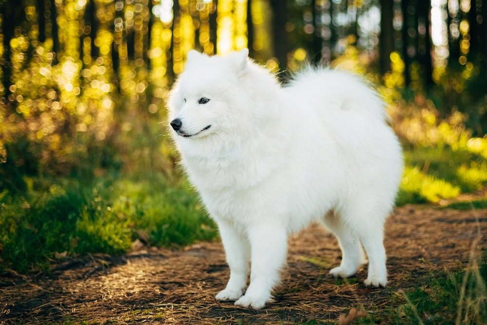 Samoieda cão