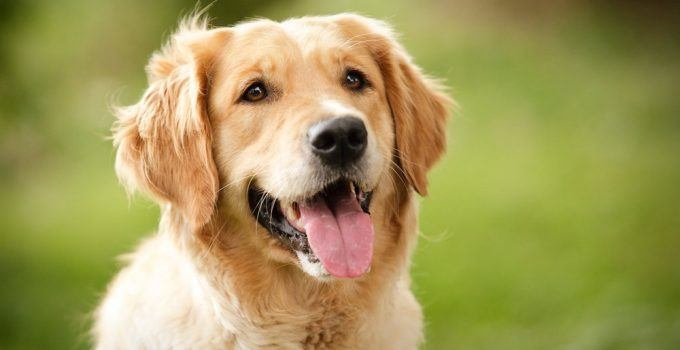 Golden Retriever cachorro