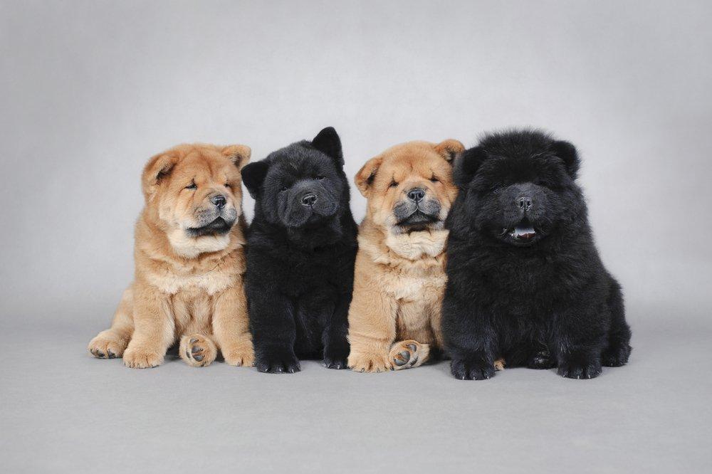Chow-chow cão