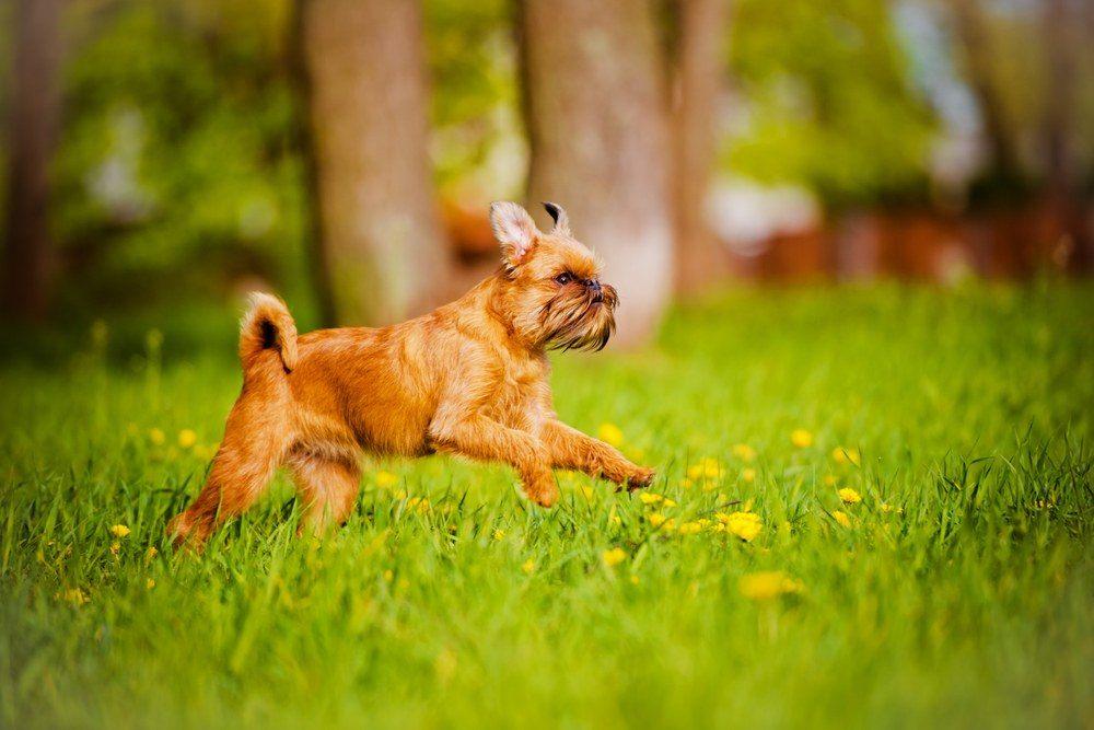 Griffon de Bruxelas cão