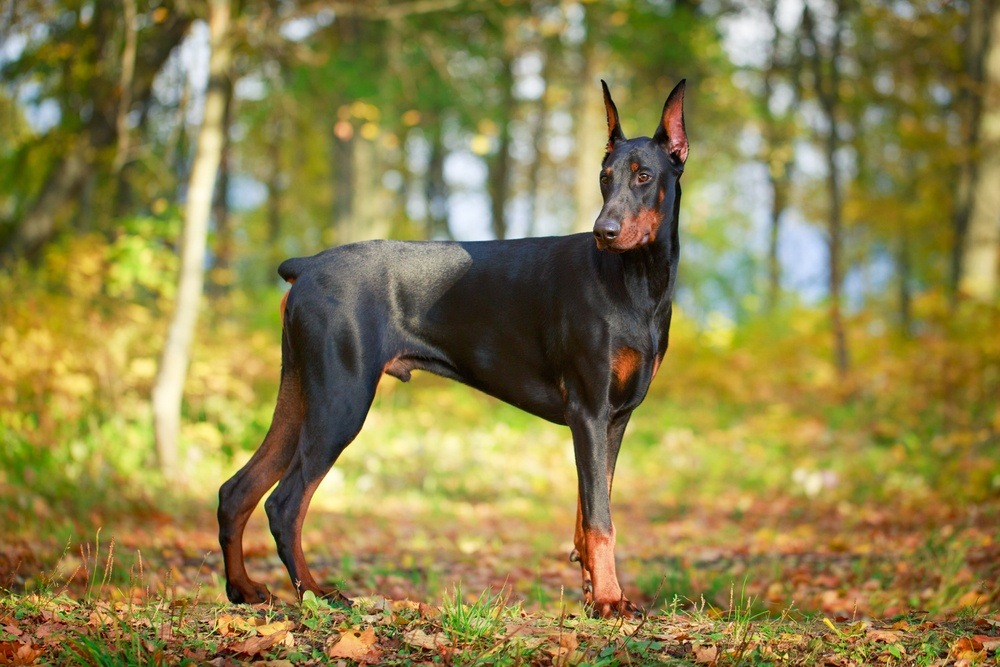 cachorro Doberman