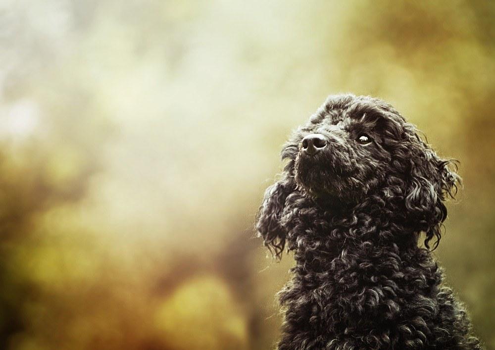 Poodle cão