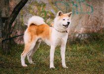 Akita cão