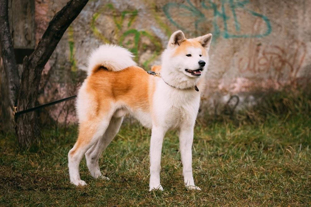 Akita Inu Raças De Cachorro