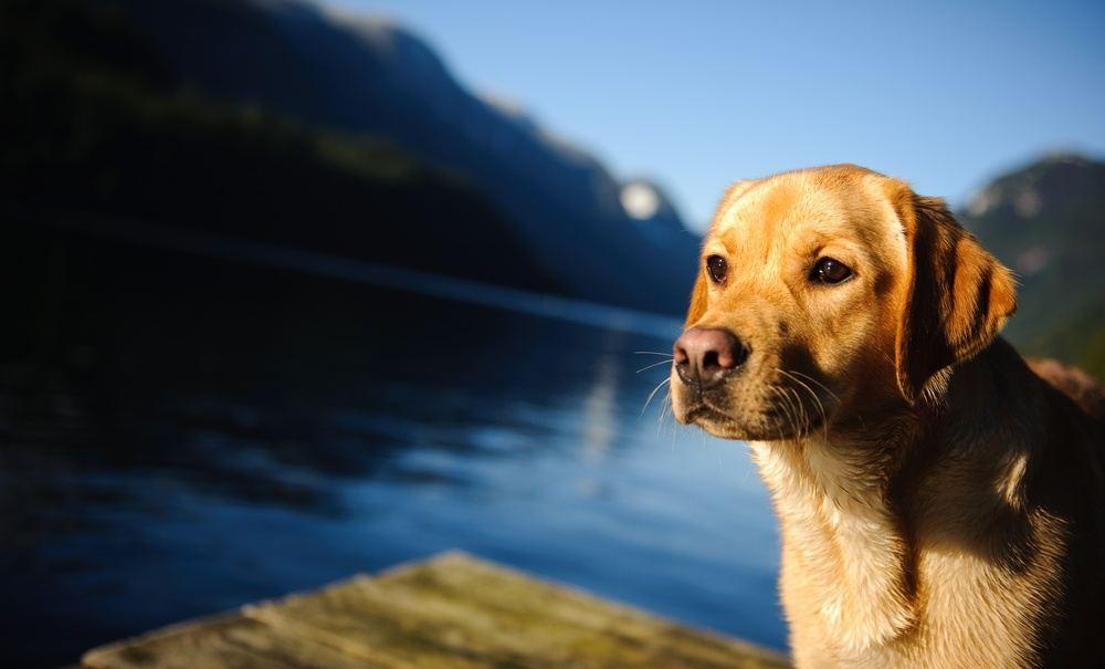 Labrador raça