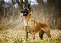 Pastor belga cão