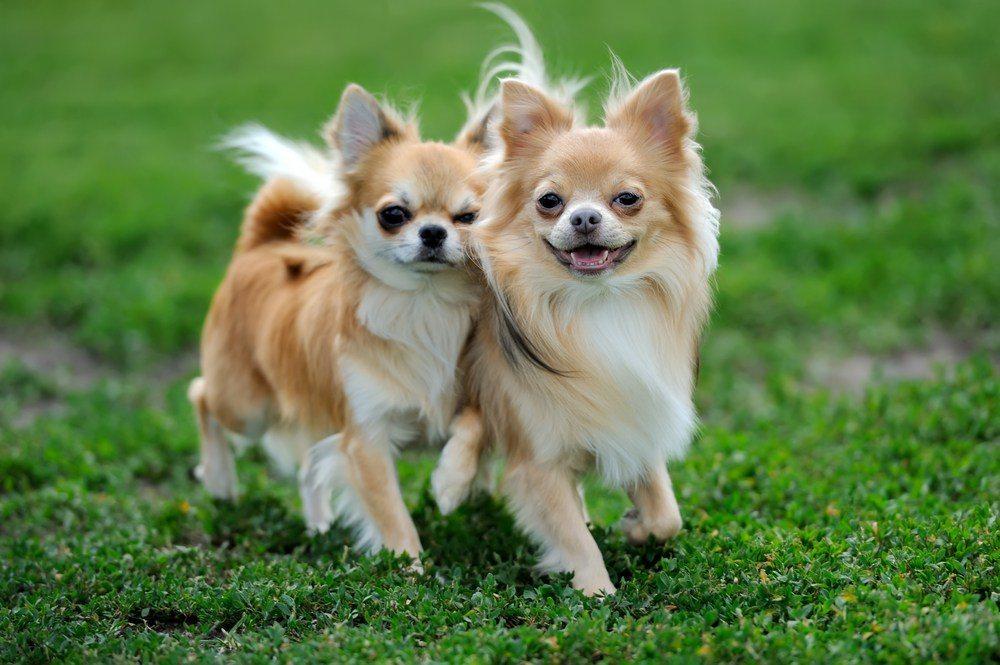 Chihuahua cão