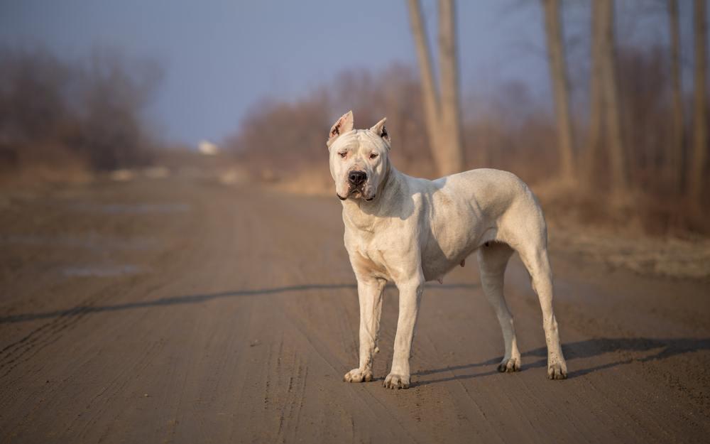 Dogo argentino cão