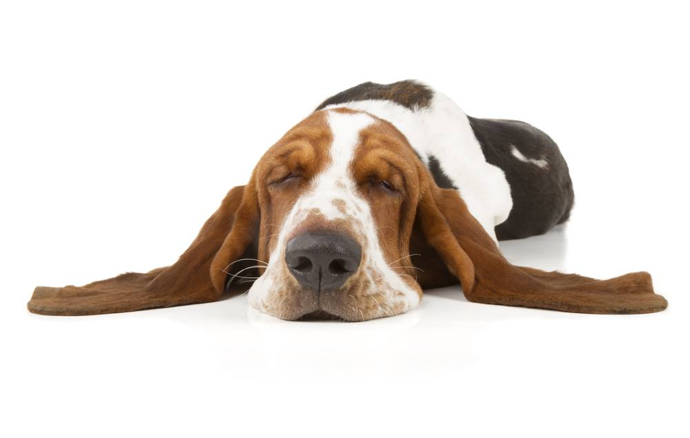 Basset Hound dormindo