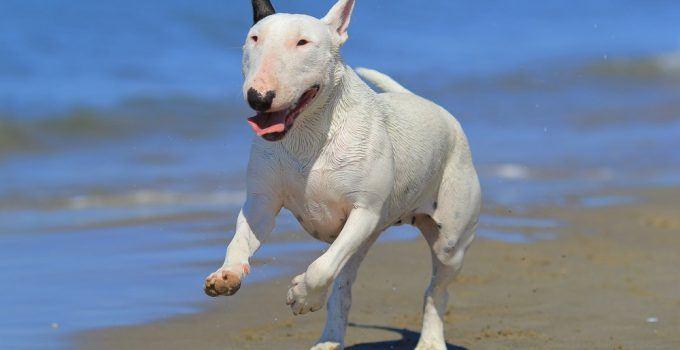 Bull terrier cão