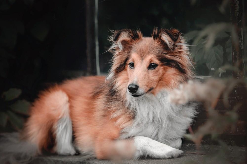 Pastor de Shetland cão