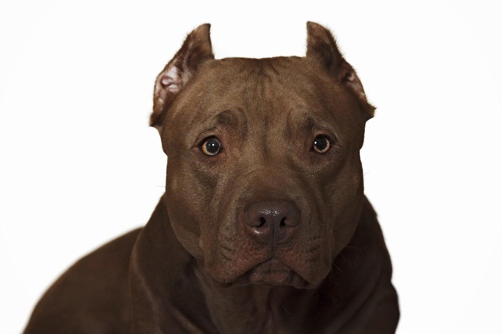 Pit Bull cão