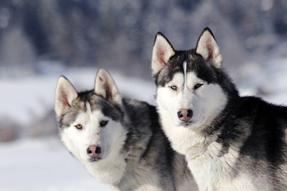 Husky Siberiano cão