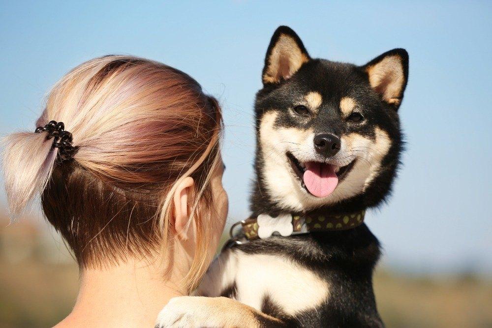 Shiba Inu cão